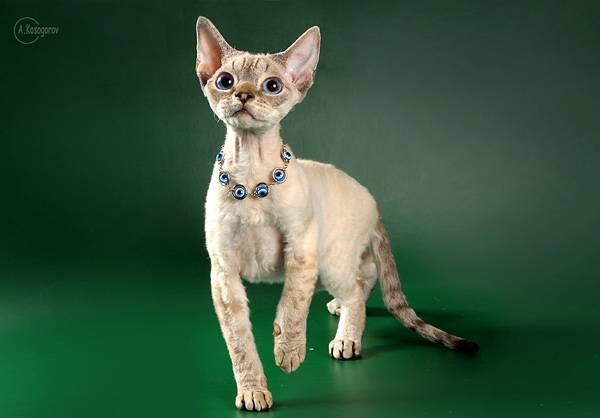Кошки. Редкие породы