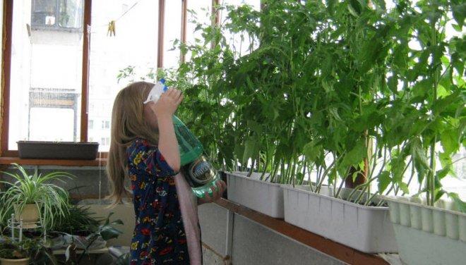 Почему желтеет рассада помидоров на подоконнике