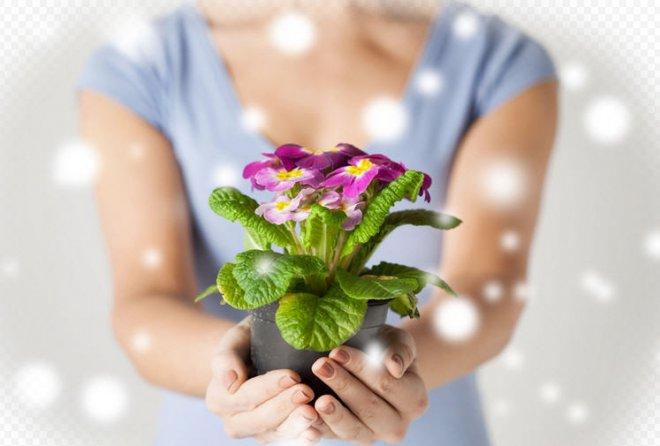 Дарить или не дарить цветок в горшке