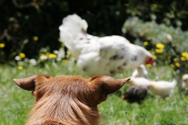 Собаки - опасность для цыплят и кур