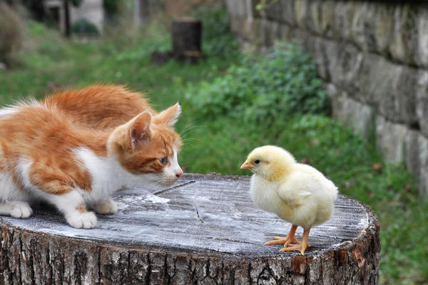 Как уберечь цыплят от болезней и проблем