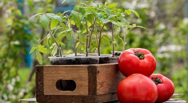 Благоприятные дни в мае 2017 для посадки томатов в теплицу