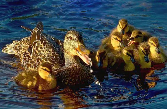 К чему снятся утки: живые и мёртвые, большие и маленькие