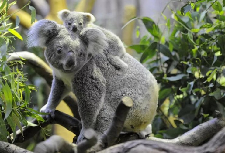 коала с детенышем