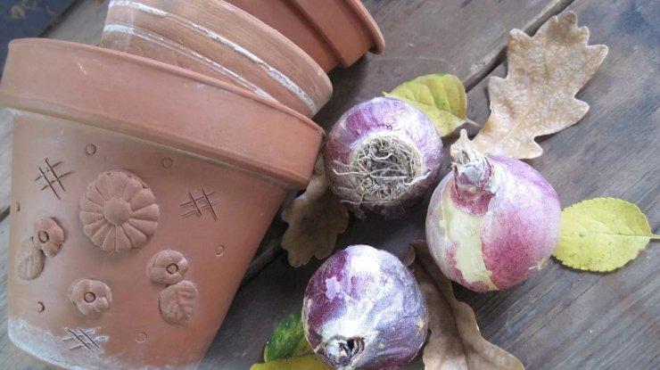 Как хранить луковицы гиацинтов