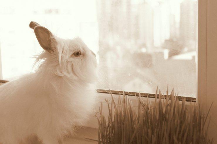 карликовый кролик у окна