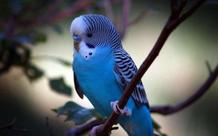 Волнистый попугайчик - определяем пол