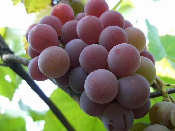 Виноград сорта «Лилия», размножение и уход за ним