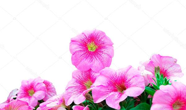 Как вырастить петунию ранней весной и заставить ее цвести до поздней осени