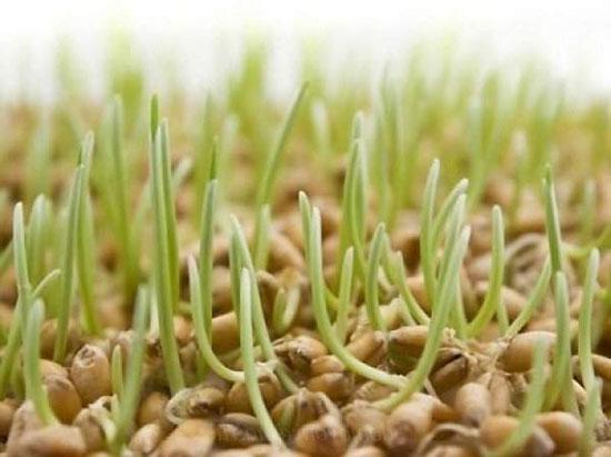 ростки для еды