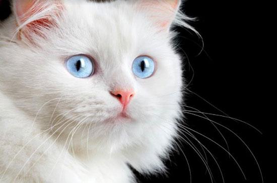 Белая кошка перебежала дорогу, что это значит