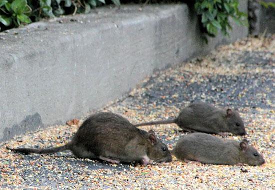 Что будет если перебежала крыса дорогу