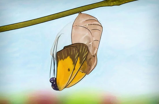 выращивание бабочки