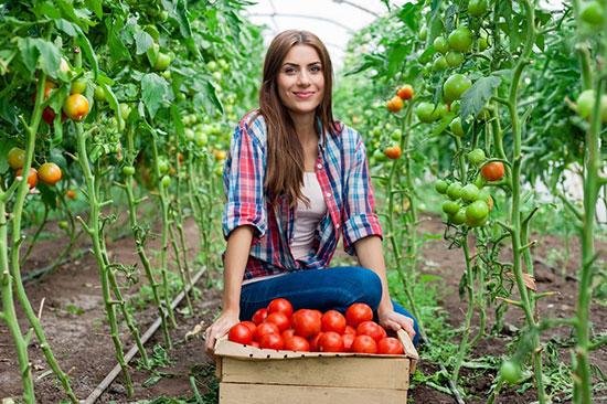 Что нужно сделать, чтобы помидоры быстрее краснели в теплице