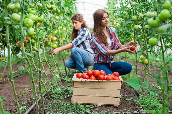 сбор спелых томатов в теплице