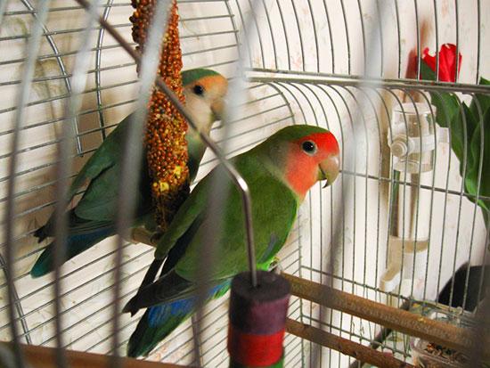 Содержание попугая в квартире