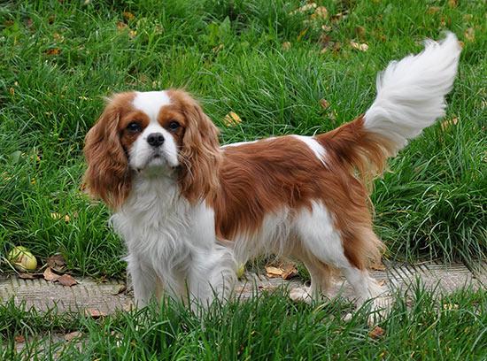 Топ - пять самых дорогих пород собак