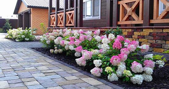 куст роз в садике перед домом