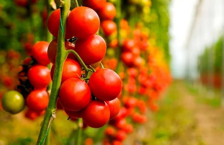 Как нельзя прищипывать томаты