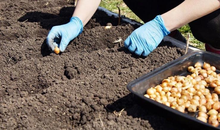 Осенняя посадка репчатого лука: важные преимущества