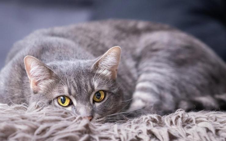 К чему серая кошка приходит в дом