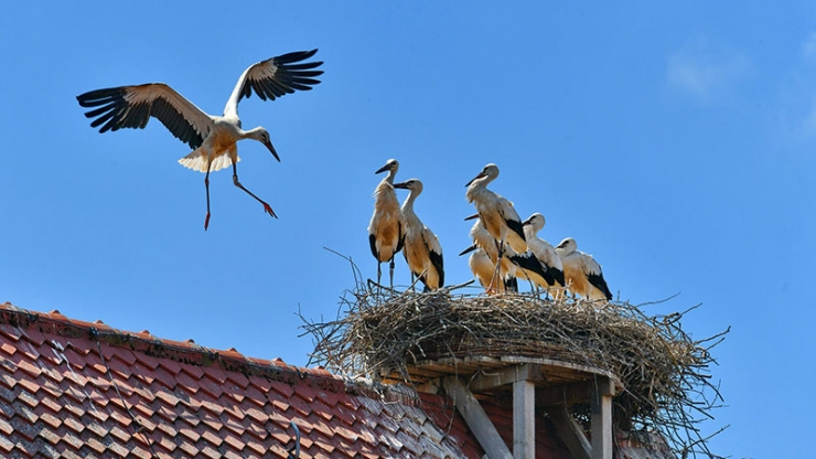 Аист кружащий над своим гнездом