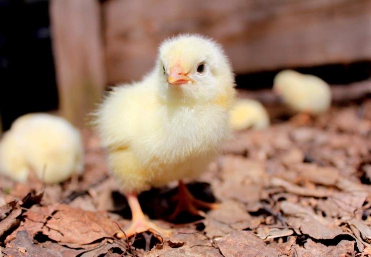 Особенности кормления цыплят-бройлеров