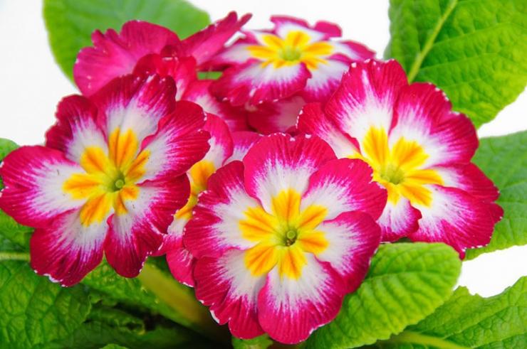 Примула  — красивое растение в саду