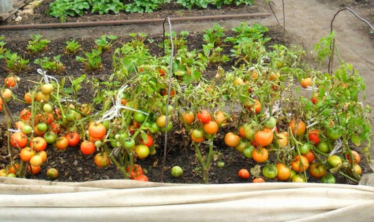 Метод безрассадного выращивание помидоров