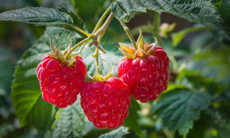 Обработка малины весной по лунному календарю в 2021 году