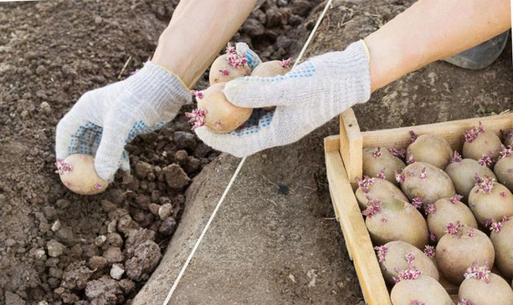 Самый лучший метод посадки картофеля