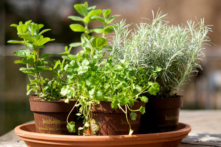 Какие лечебные травы можно вырастить на подоконнике