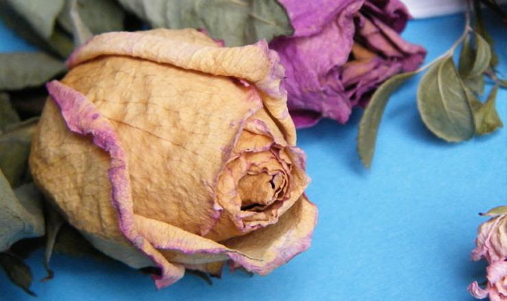 Почему бутоны роз засыхают и не распускаются